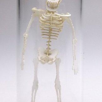 21mm Glass Display Dome in Borosilicate for Tinysaur humanoid skeletons