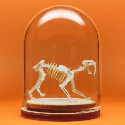 Saber Tooth miniature skeleton model in hand-blown glass display dome by Tinysaur.us