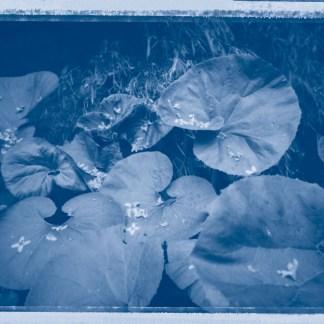 Elephant Ear cyanotype