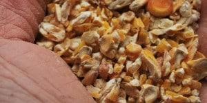 maïs concassé pour les poules