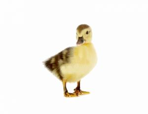 Canard quatre