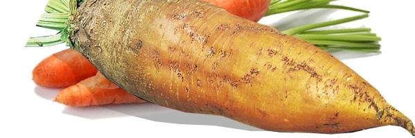 Légumes racines pour l'alimentation des lapins
