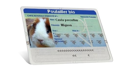 carte identité cobaye - cochon d'inde