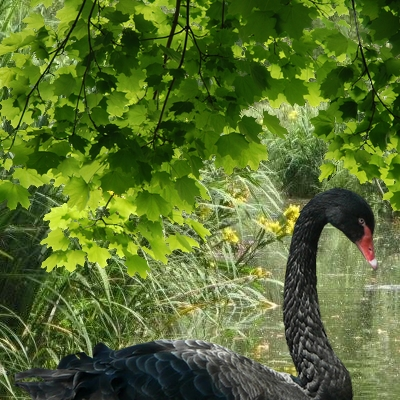 cygne noir nageant