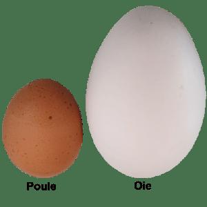 différence entre un oeuf d'oie et de poule