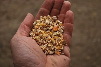 graines bio de maïs pour nourrir les dindes