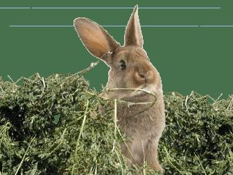 lapine mangeant du foin de luzerne