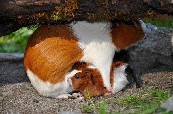 mére cochon d'inde qui allaite ses petits