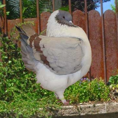 pigeon gazzi