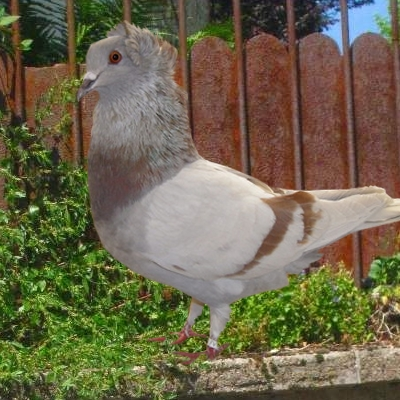 pigeon huppé de soultz