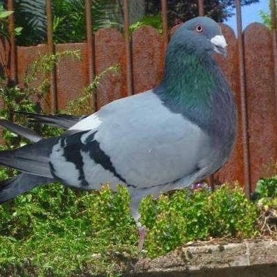 pigeon romain