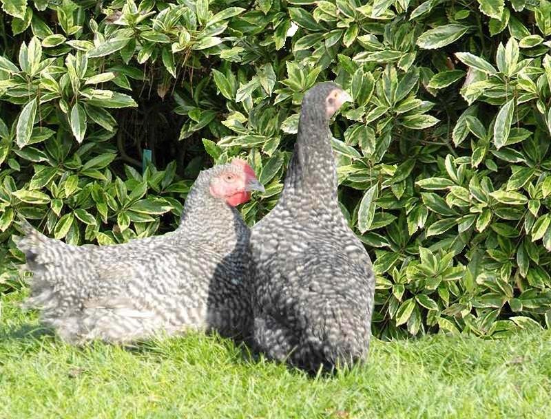 Poule coucou de rennes poulailler bio for Bien nourrir ses poules