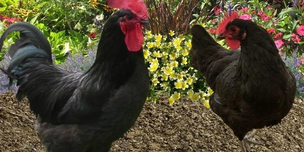 poule et coq race gasconne
