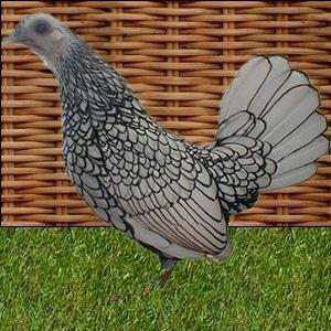 poule naine Sebright argentée