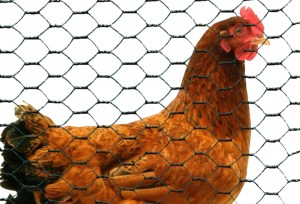 grillage triple torsion pour les poules et les volailles