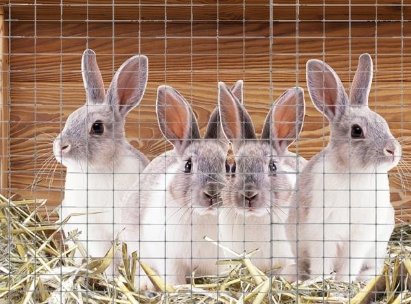 jeunes lapins à l'engraissement