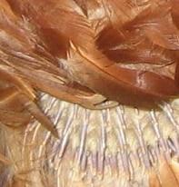 plumage de poule pendant la mue