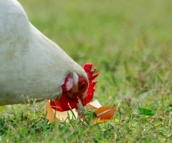 poule qui mange un oeuf