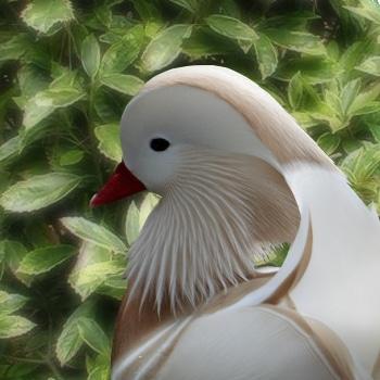 canard mandarin blanc