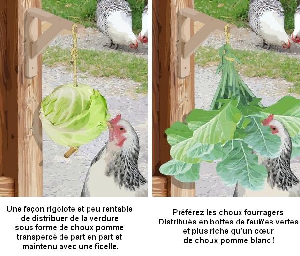 distribution de verdure pour les poules avec des choux suspendus