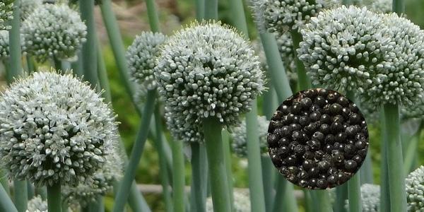 fleur et graines d'ail