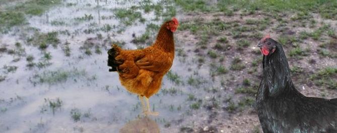 poules pataugeant dans l'eau