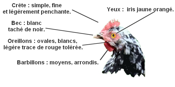 standard de la poule de gournay cailloutée blanc