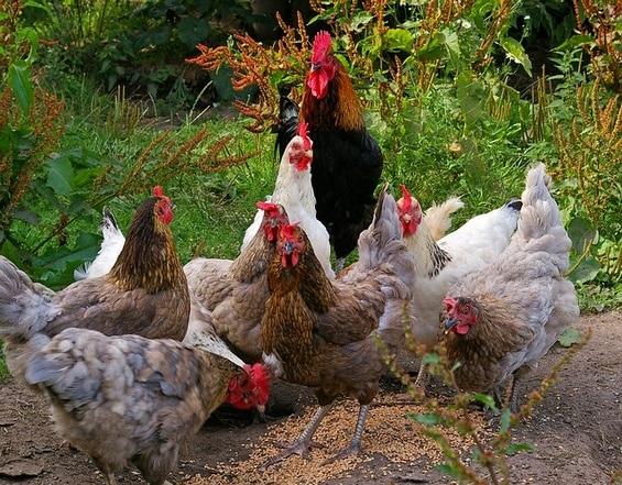 poules avec un beau plumage