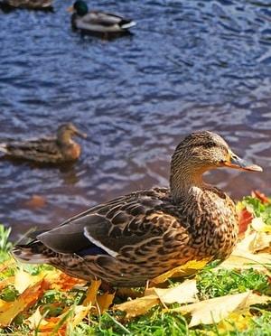 canard en automne