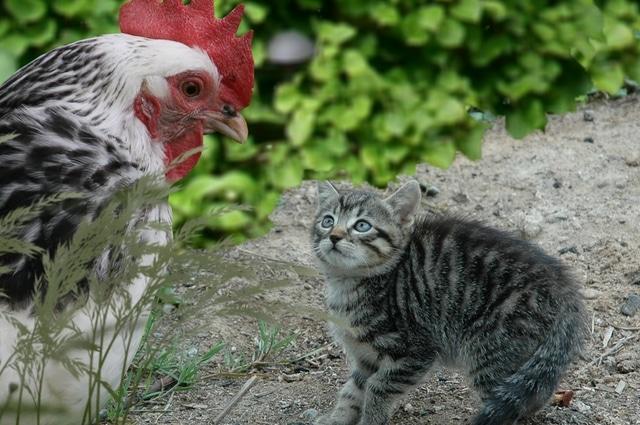 chaton devant une poule