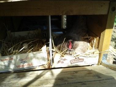 Isabelle -poulailler autoconstruit avec de vieux composteurs - nichoir avec des cageots
