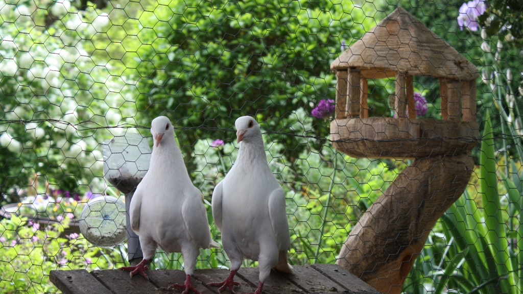 Pigeons Texan