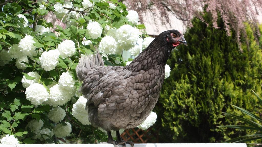 poule pondeuse grenoble