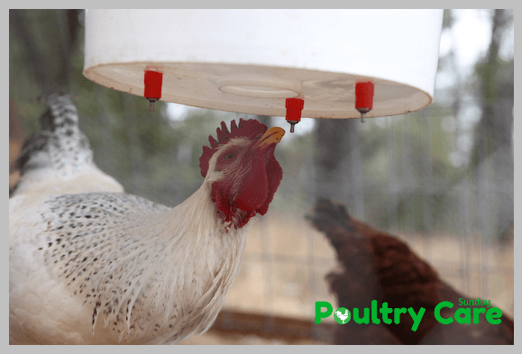 3-Gallon-Plastic-Bucket-DIY-Chicken-Waterer