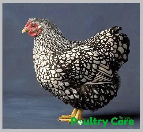 Silver-Laced-Wyandotte-Chicken