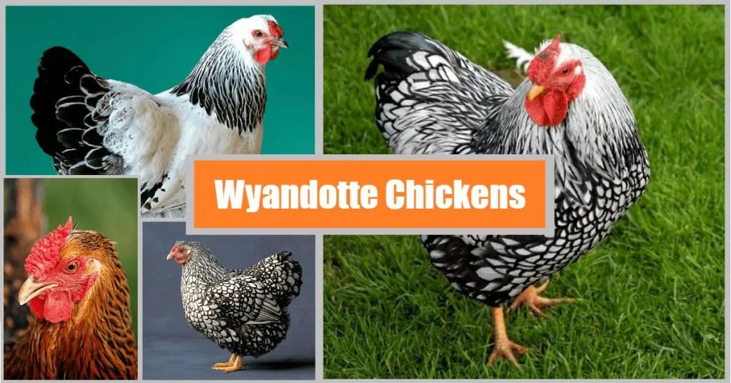 Wyandotte-Chickens