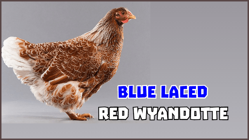 Blue_Laced_Red_Wyandotte