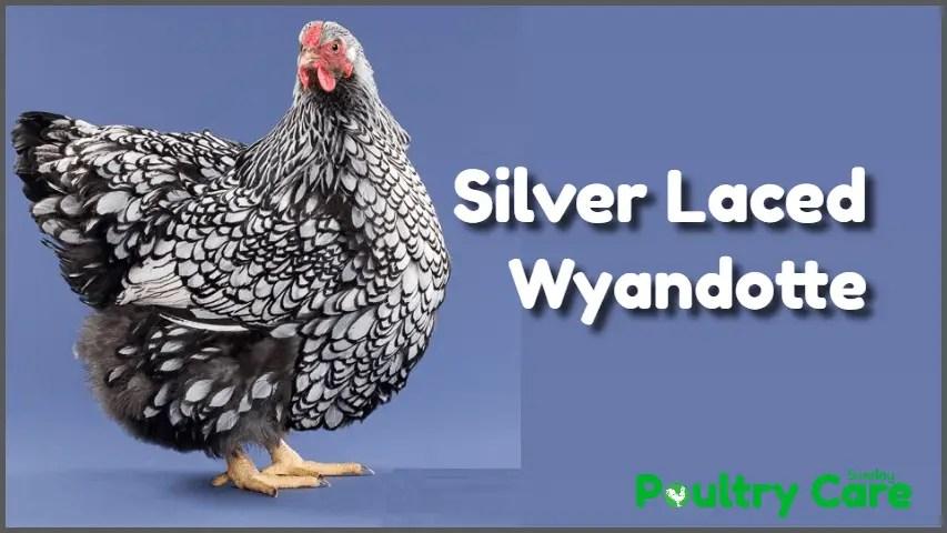 Silver_Laced_Wyandotte