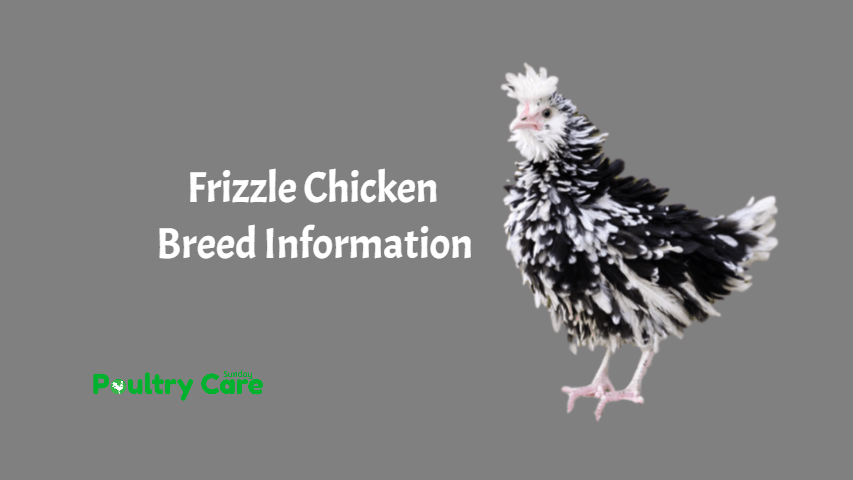 Frizzle-Chicken-Breed