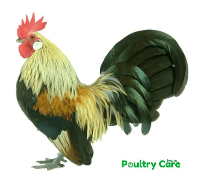 Serama_Chicken