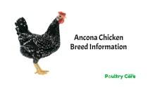 Ancona-Chicken-Breed