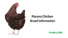 Marans-Chicken-Breed