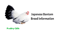 Japanese Bantam Chicken