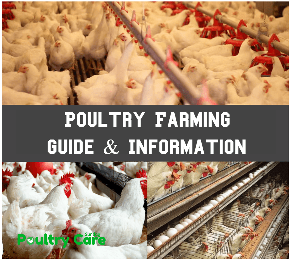 Poultry Farming Guide and Information