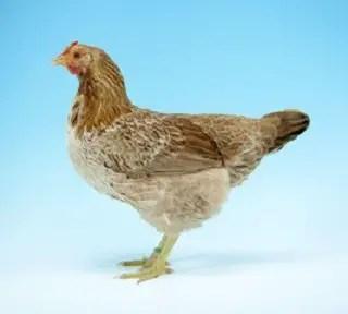 Marsh Daisy Chicken