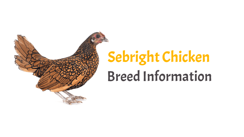 Sebright Chicken