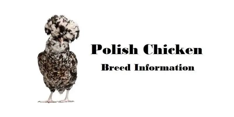 Polish Chicken Breed Information, Characteristics, Temperament