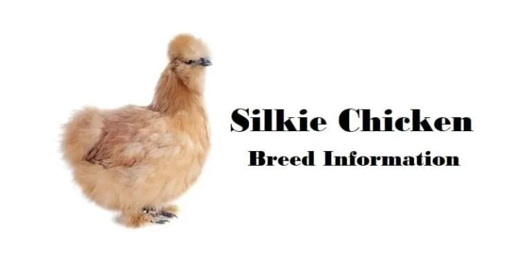 Silkie-Chicken-Breed-Information
