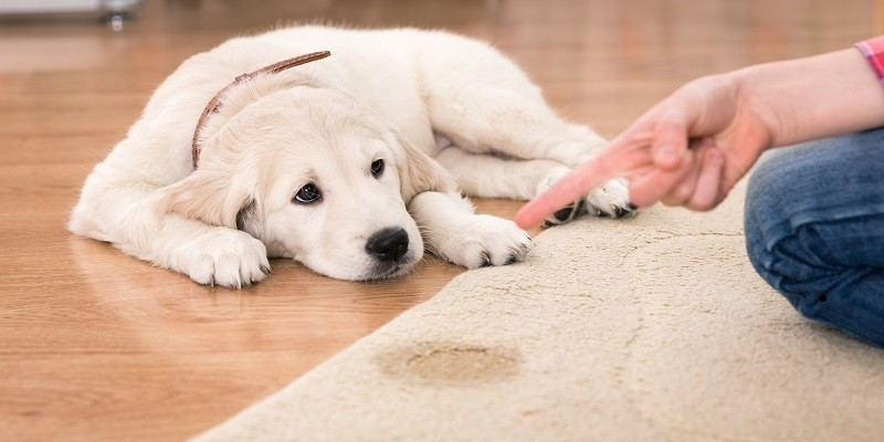 What to Consider When Looking into Pet Carpet Cleaning