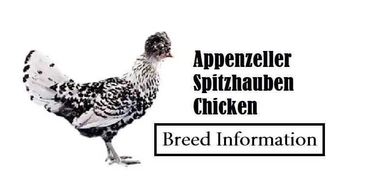 Appenzeller Spitzhauben Chicken Breed Information, Characteristics, Temperament